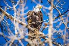 Eagle in a tree